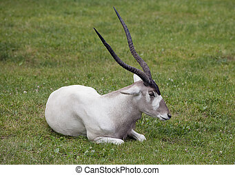 Addax nasomaculatus - Scimitar horned oryx laying in the...