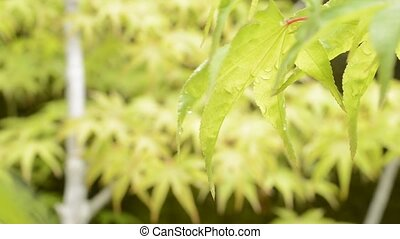 Wet leaf in right side - Close up fresh green maple leaf wet...