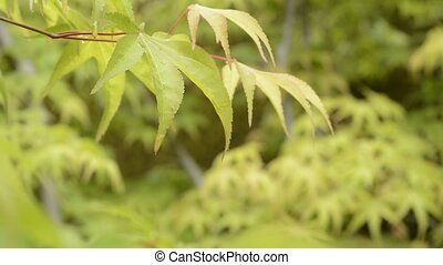 Wet leaves in upper left - Fresh green maple leaves wet with...