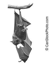 Flying Fox - Large Bat, Hanging Flying Fox Pteropus vampyrus...