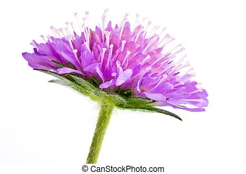 Knautia arvensis - Flowering plant of Knautia arvensis, it...