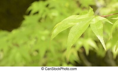Close up leaf in right - Close up bright green maple leaf in...