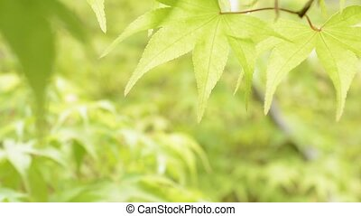 Close up leaf in upper half - Close up bright green maple...