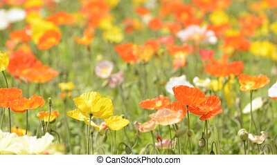 Iceland poppy flower field - Bright color iceland poppy...