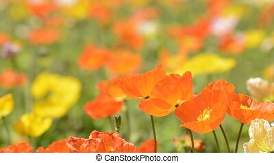 Close up iceland poppy - Close up bright orange iceland...