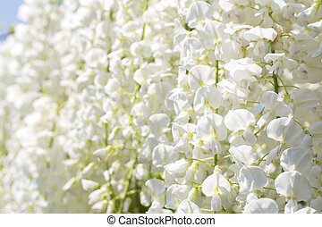 Wisteria flowers all around - Full blooming white wisteria...
