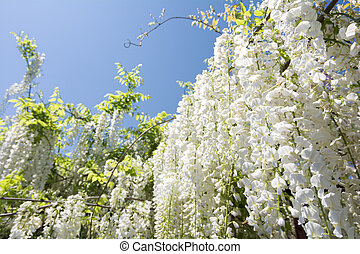 Wisteria flowers perspective - Full blooming white wisteria...