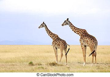 Masai Mara Giraffes - Giraffes (Giraffa camelopardalis) on...