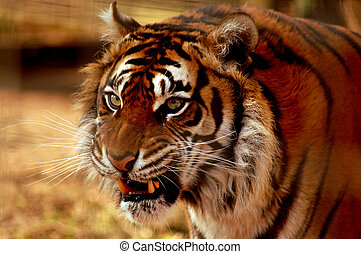 bengal tiger - ZOO pictures