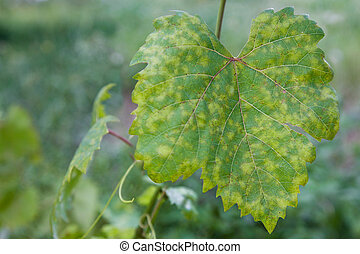 Grape leaf disease - Closeup of vine grape leaf affected by...