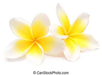 frangipani - beauty frangipani isolated on white background