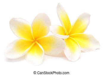 frangipani - beauty frangipani isolated on white background