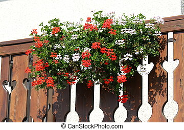 flowered terrace with large pots of Geraniums blooming 7 -...