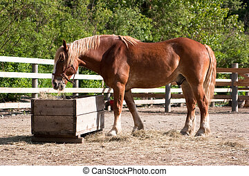 Large horse eating hay - Large brown horse in corral eating...