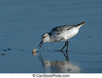 Sanderling catching Sand Crab - Sanderling (Calidris alba)...