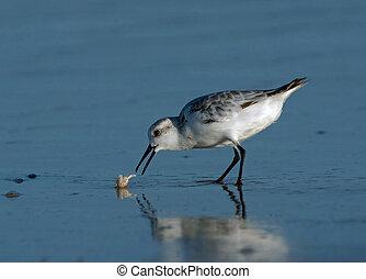 Sanderling catching Sand Crab - Sanderling (Calidris alba)...