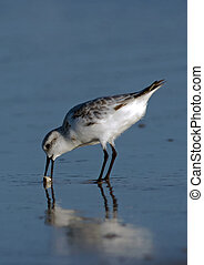 Sanderling with Sand Crab - Sanderling (Calidris alba)...