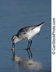 Sanderling with Sand Crab - Sanderling (Calidris alba)...