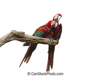 two parrots on branch on white bavkground with paths
