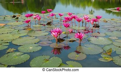 Water lilies on a pond. Flowering period. Thailand - Video...