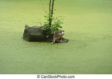A duck on a tiny island in a pond