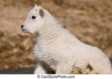 Mountain Goat Kid - a mountain goat kid getting up out of...
