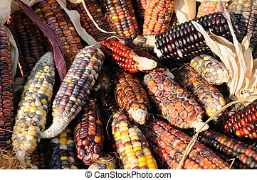 Indian corn on cobs - Close up of colorful indian corn on...