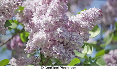 Blossoming branch of a lilac close up