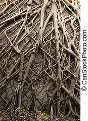 Tropical banyan tree roots texture - Background image of...