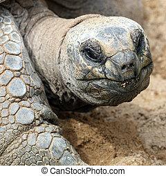 Aldabra giant tortoise, Aldabrachelys gigantea - Details of...
