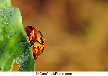 bright red lady bug on green cabbage