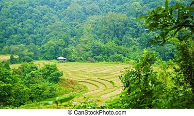 Rice fields in the woods Chiang Mai, Thailand - Video 1080p...