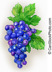 Branch of grapes draw watercolor