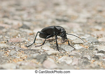 Ground beetle - Carabus coriaceus - Macro photo of Ground...