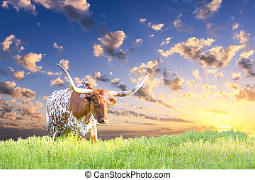 Longhorn Cow - Female Longhorn cow in a Texas pasture at...