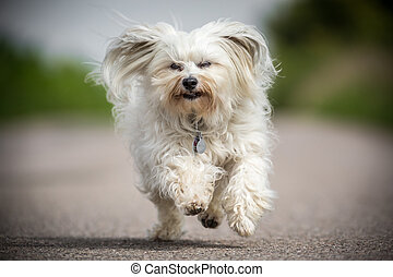 Here we go - Small white Havanese runs quickly toward the...