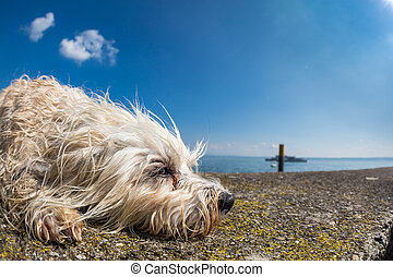 Dog tired - Small white dog lies on a wall and looks out of...