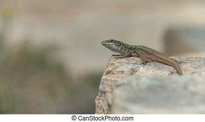 Lizard taking sun bath - Lizard taking a sun bath on a stone...