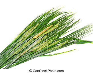 Ears of immature green wheat isolated on white background...