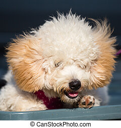 Adorable pure breed bichon frise dog - Beautiful pure breed...