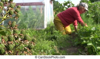 berry garden woman weed - Blackberry berries growing in...