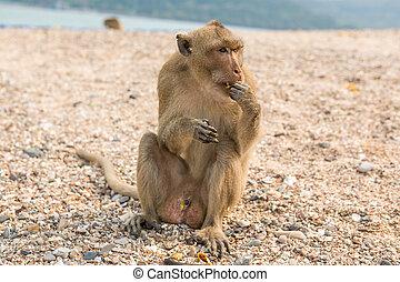 mono, macaco,  crab-eating,  Asia, Tailandia