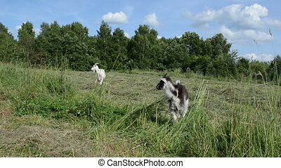 goat baby goatling - in the meadow graze white goat and a...