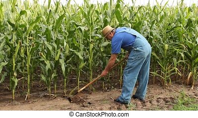 hoeing corn - farmer using a hoe in his large cornfield