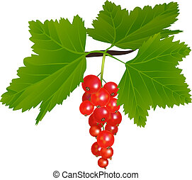 redcurrant - Branch of redcurrant with berries and leaves