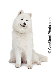 Studio shot of Samoyed dog - Studio shot of a beautiful...