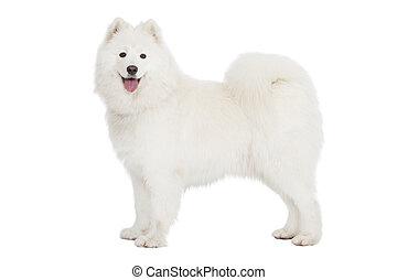 Samoyed dog, isolated on white - Samoyed dog, looking at...