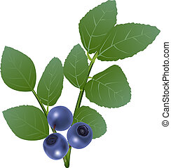 blueberry - Branch of blueberry with berries and leaves