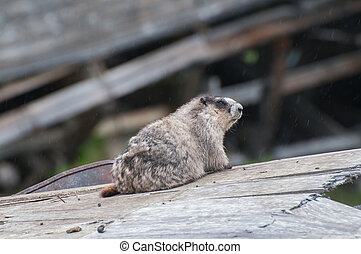 Marmot - A marmot sitting in the rain
