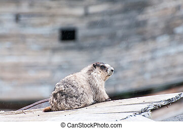 Marmot - A marmor sitting in the rain at Hatcher Pass